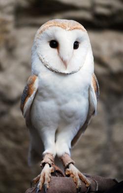 Korea animal owl nikon zoo barn barn owl everland