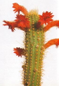 cac-tus:  Cactus: Borzicactus samaipatanusBook: The ultimate book of cacti & succulents by Miles AndersonPhotography source: Peter Anderson