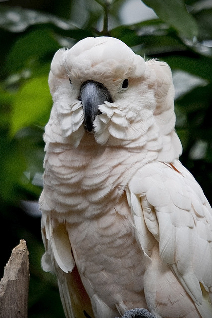 theanimaleffect:  Cockatoo by LifeInMacro | Thainlin Tay on Flickr.