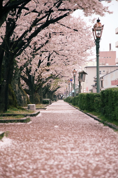 burnworks:  Wonderful Cherry Blossom Season