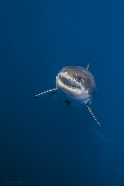 wolverxne:  Great white shark rising from the deep by George Probst on Flickr.