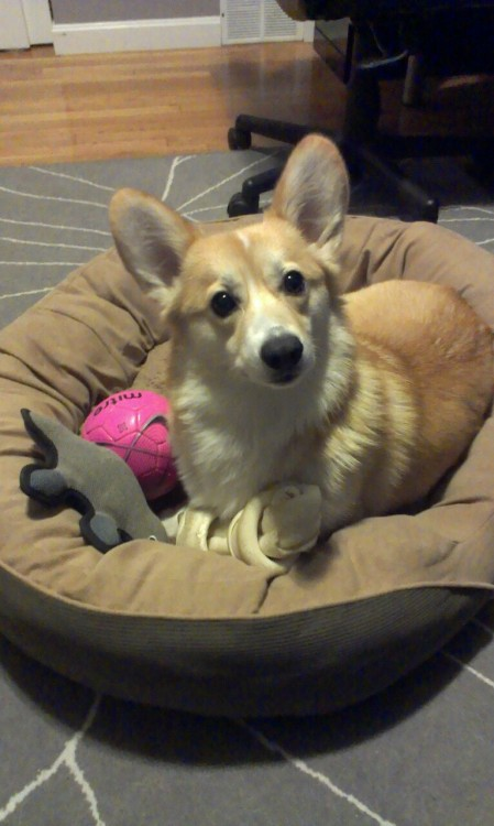 Penny can't decide if she wants to chew her bone, cuddle with her platypus, or play with her soccer ball.  What's a corgi to do?  Answer: Cuddle all three, of course!
