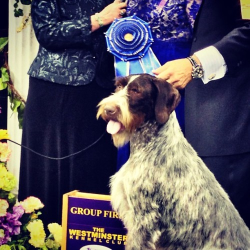 Oakley, a German wirehaired pointer and top dog in the country, advances to Westminster's best in show