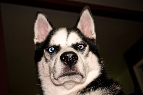 raresteakbits:  dogb0y:  Huskies make the best faces  !