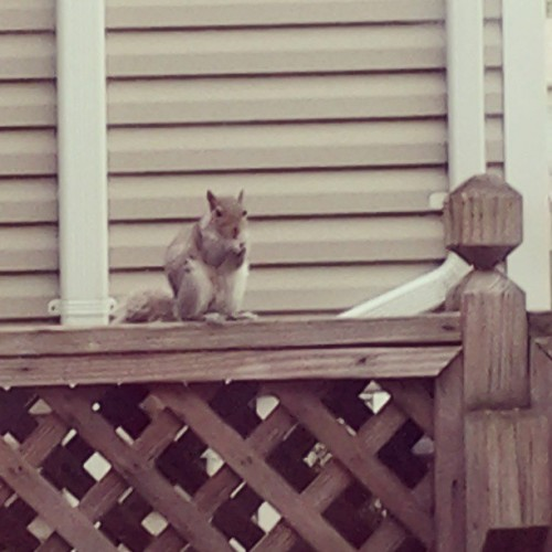 Well, Hello squirrel! :3 #squirrel #caught #socute #probablyhasdiseases #sonevermind