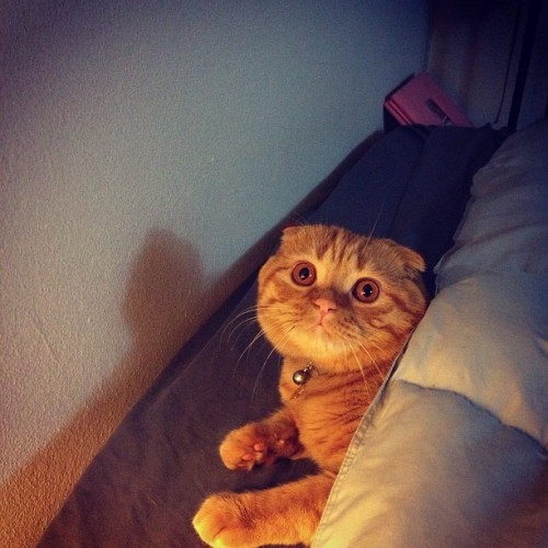 Strummer is ready for bed! Good night world! #strummerthecat #scottishfold #redtabby #instacat #cat #catsagram #catsofinstagram #kitty #catlife #cute #sleepy #bed #tuckedin #sleepykitty #bedcat #handsome