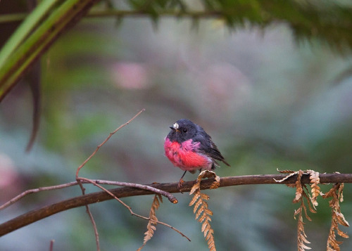fairy-wren:  Pink Robin. Photo by Callocephalon Photography