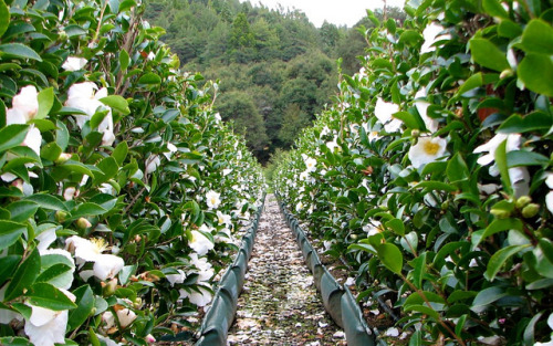Camellia 'Setsugekka' hedge - sought-after white sasanqua, autumn flowering by Living Walls Instant Hedges on Flickr.