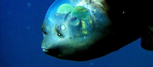 Diaries Of The Ocean Eyes Of Barreleye Fish Rotate