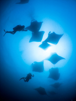 Mantas by Christian Loader on Flickr.