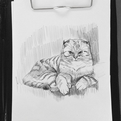 Scottish fold tiger )) for another day of art challenge with @instaren12