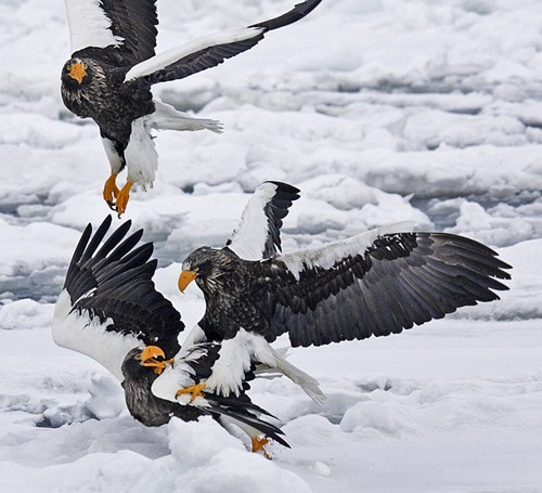 thepredatorblog:  Steller's sea eagles tussle (by Pete Morris)