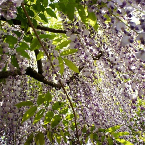 Please let me walk in this dream forever 💜 Japanese wisteria / 牛島の藤 ✨✨ #wisteria #flowers #japan #nature #beauty #fuji