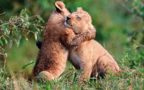 animals-are-hype:  hug lions by ~KeepCalmAndHugLion
