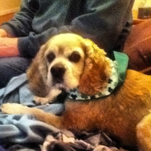 Fiona ready to celebrate w/mom and dad w/her Shamrock bandana!