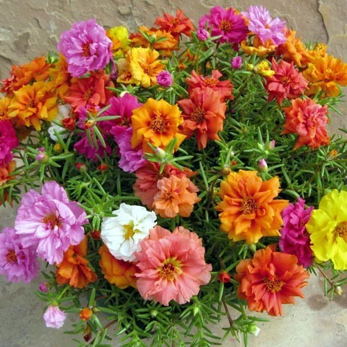 In Mexico they call moss rose 'chismes'.  Because it spreads like gossip.