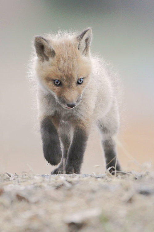 llbwwb:  Todays Cuteness:) Explorer by Denis Dumoulin.