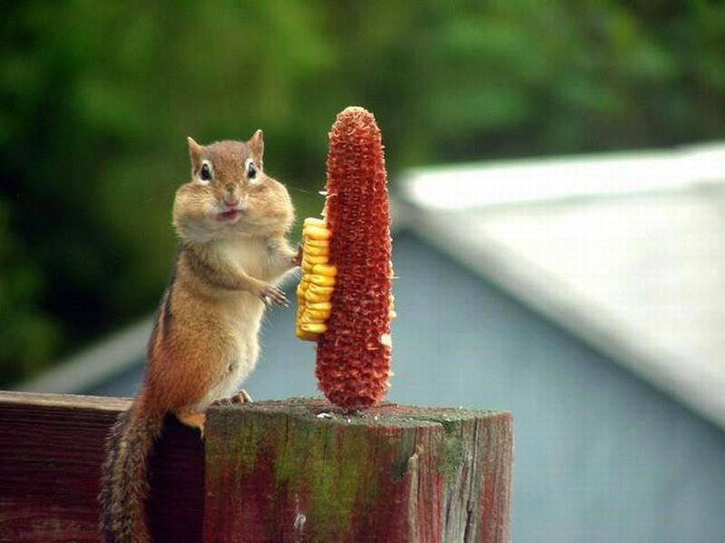 lizardking90:  Chipmunk Having a Feast - Sudip Marik