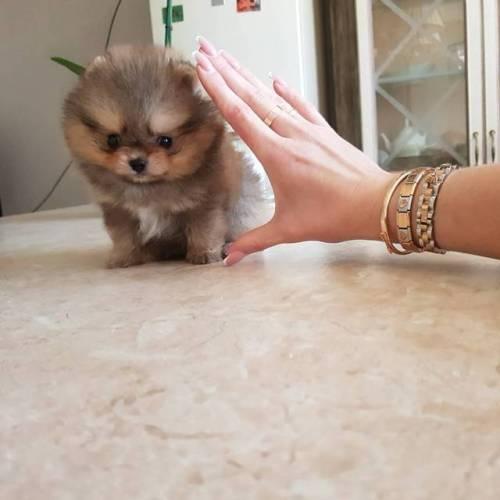 pome puppyforsale puppy dog pomeranianworld puppies luxurybrand dogstagram pomerania luxury pomeranians pomeranianlove tcup cute fluffy instapets best pom pomstagram instadog instapom minipom pomeraniansofinstagram pomeranian spitz