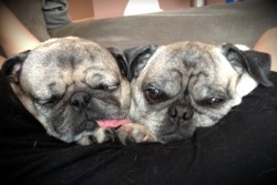 cuddlepugs:  Home sick today and in the care of these two. Not looking forward to getting their bill.
