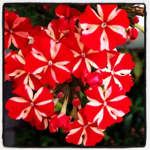 Red & White flowers #iphonography #iphonephotographer #instagramers #instaphotographer #igersportugal #coolpic #photooftheday #nature #flowers #colors  (em Tentúgal)