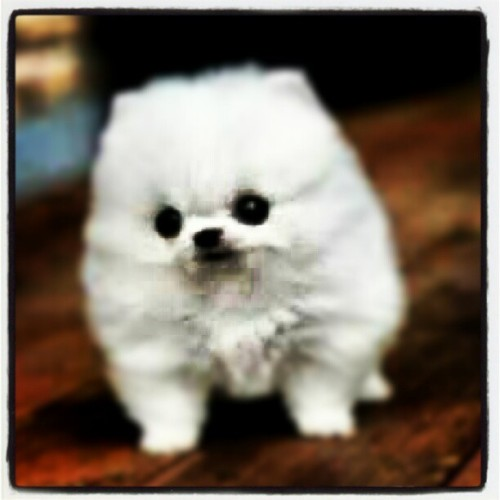 Stop pickin on #me I'm not a #snowball! #lol #funny #little #dog #cool #wow #art #cute #beautiful #beach #sky #sun #goodmorning #donmagicwand24 #like #awesome #instagramhub #fashion #shoes #cars #ocean #clouds