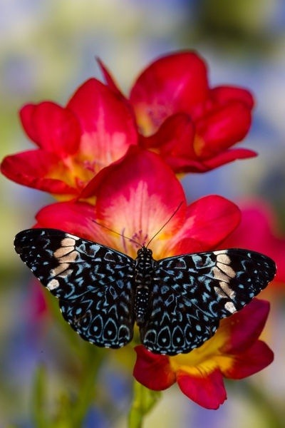 ~* Starry Night Butterfly on Fresia Flower  *~