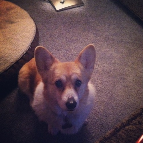 begging for perogies. #jillypants #corgi