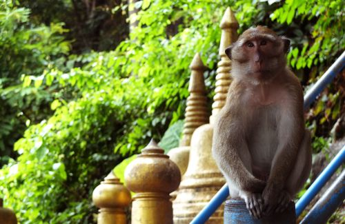 Thai Temple Monkey