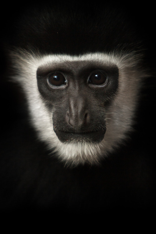 earth-song:  h4ilstorm: Black And White Colobus (by William T Hornaday)