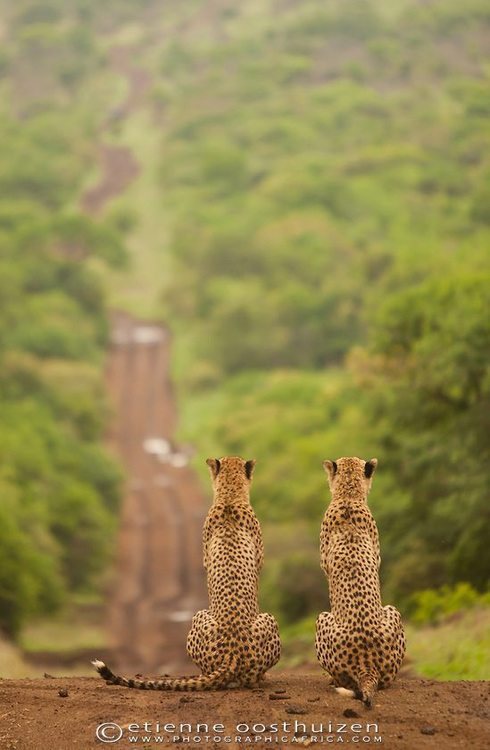 tigersandcompany:  On the lookout (by Etienne Oosthuizen)