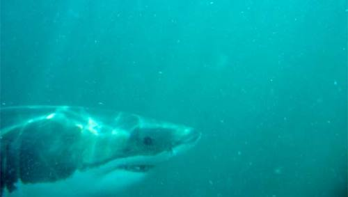 Freediving with a great white shark Watch this amazing video of freediver Kimi Werner placidly swimming alongside a great white shark.