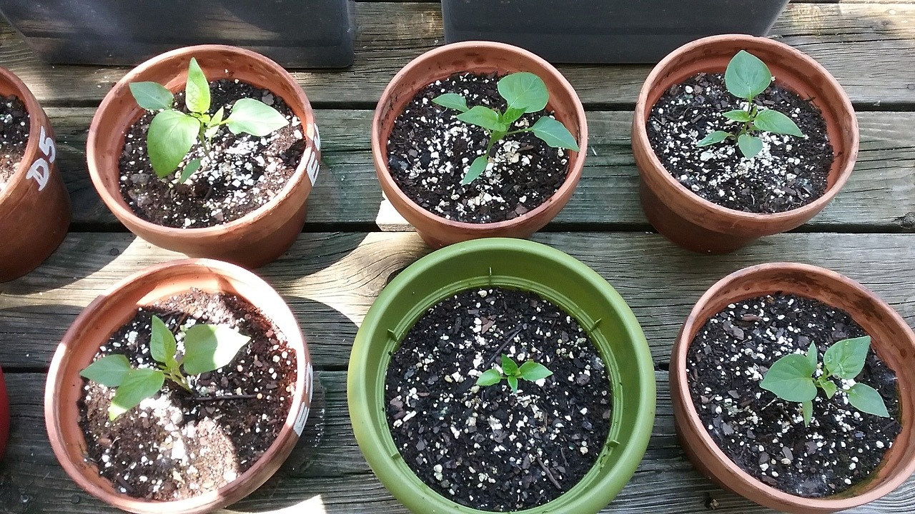 six pepper seedlings in planters and assorted pots
