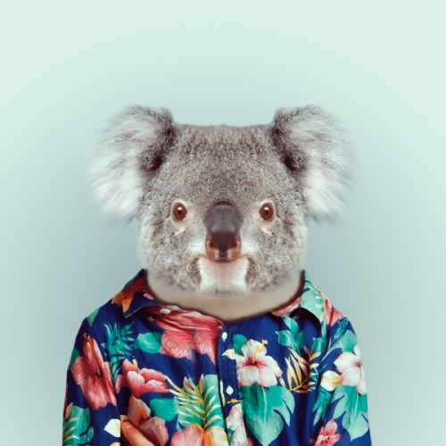 zooportraits:  KOALA by Yago Partal for ZOO PORTRAITS  love her works! <3