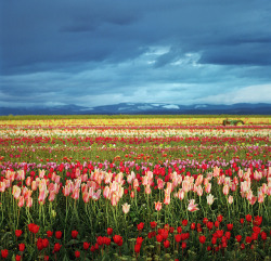 tulip fest: poststravaganza #24 by manyfires on Flickr.