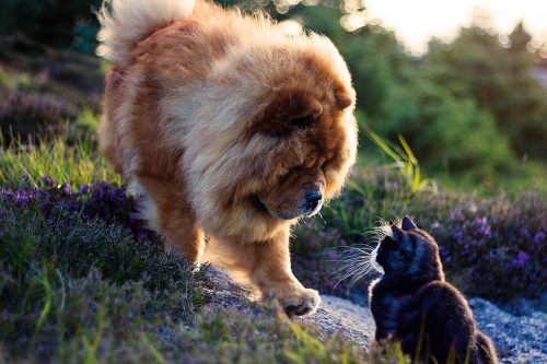 Precious!! Chow chow and kitty meet. Beautiful photo.