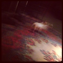 Some four-legged dream. #zuul #projections #dog #chihuahua #studiodog #dream #what #apogee #berkeleystreetstudios #ghostlightorchestra @ghostlightorchestra
