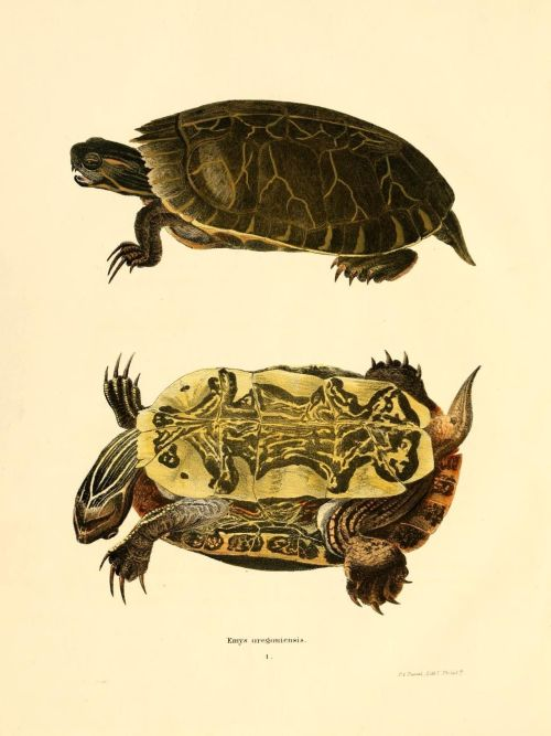 "scientificillustration:   The western painted turtle genome, a model for the evolution of extreme physiological adaptations in a slowly evolving lineage Background ""We describe the genome of the western painted turtle, Chrysemys picta bellii, one of the most widespread, abundant and well-studied turtles. We place the genome into a comparative evolutionary context, and focus on genomic features associated with tooth loss, immune function, longevity, sex differentiation and determination, and the species? physiological capacities to withstand extreme anoxia and tissue freezing. Results Our phylogenetic analyses confirm that turtles are the sister group to living archosaurs, and demonstrate an extraordinarily slow rate of sequence evolution in the painted turtle. The ability of the painted turtle to withstand complete anoxia and partial freezing appears to be associated with common vertebrate gene networks, and we identify candidate genes for future functional analyses. Tooth loss shares a common pattern of pseudogenization and degradation of tooth-specific genes with birds, although the rate of accumulation of mutations is much slower in the painted turtle. Genes associated with sex differentiation generally reflect phylogeny rather than convergence in sex determination functionality. Among gene families that demonstrate exceptional expansions or show signatures of strong natural selection, immune function and musculoskeletal patterning genes are consistently overrepresented. Conclusions Our comparative genomic analyses indicate that common vertebrate regulatory networks, some of which have analogs in human diseases, are often involved in the western painted turtle?s extraordinary physiological capacities. As these regulatory pathways are analyzed at the functional level, the painted turtle may offer important insights into the management of a number of human health disorders."" Genome Biology 2013, 14:R28 Image source"