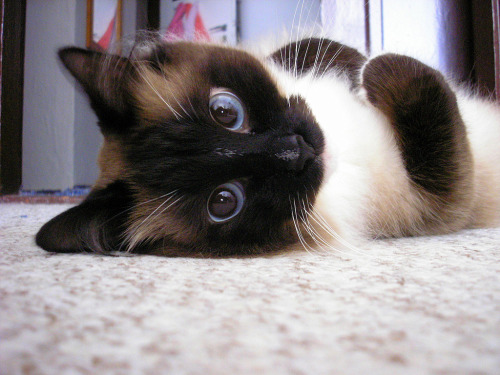 awkward-pengu1n:  we should call you ridiculously photogenic cat