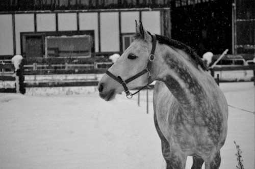 warmbloods-and-thoroughbreds:  My beautifull mare Charisma, taken december 21st 2012