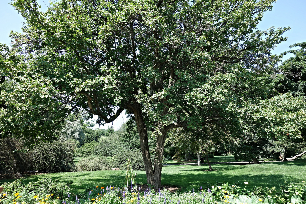 Tree leaves of kansas -  Kansas Hawthorn Lily Pond Brooklyn Botanic Garden Brooklyn New York City Has Some Towering Trees