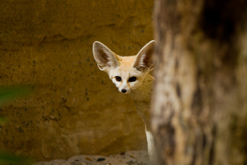 Fennec Fox Pup 3 by asbimages.co.uk on Flickr.