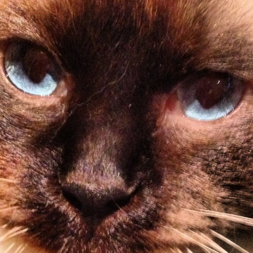 JJ's cat's eyes. #nofilter #cat #eyes #blue #iphonography #whiskers  (at Enmore)