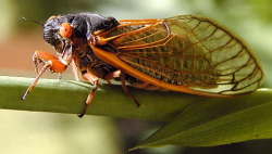 A cicada of the genus Magicicada, which are known for their long life-cycles and 17-year emergence pattern. This year will mark the 17th year in the life-cycle of a large generation (Brood II), meaning the north eastern coast of the US will see swarms of these beauties and be overcome by the cacophony of their mating calls through the late spring and summer. Next summer, the midwest will see the emergence of Brood III. This phenomenon has been affectionately referred to as cicadapocalypse. Despite being large and ominous-looking, cicadas are entirely harmless. They neither bite nor sting and they aren't excessively destructive to vegetation or infrastructure. Photo © Richard Leung