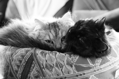 catsinblackandwhite:  Kuschelstunde #4 by Vasquezz on Flickr.