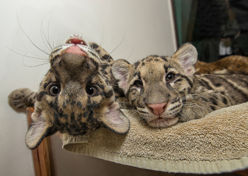 sdzoo:  Cheese! - Clouded leopard cubs Riki-san and Haui-san smile for the camera.