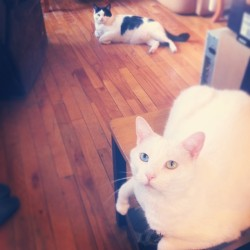 //My pudgy kitties! The one in the back is Sammy, and the one in the front is Angel. We call them our plops, because they don't really do anything but flop down on the floor all over the house. I trip over them regularly, but it's okay, because they're so cute.