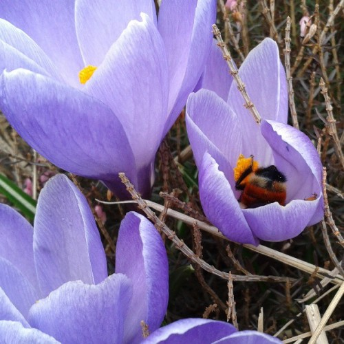 First bumblebee sighting of the year!