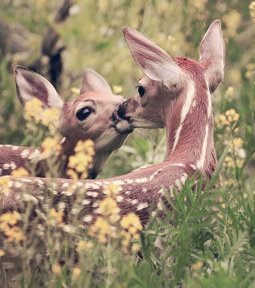 hippist:  awe deer kiss