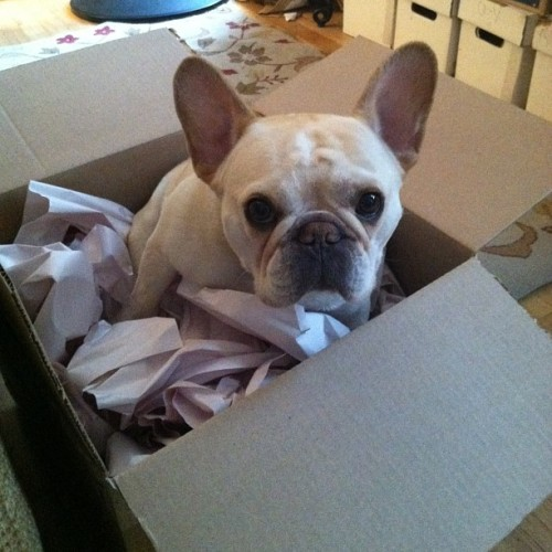 special delivery! #puppyinabox #frenchie #frenchbulldog #waltercronkite #cutepuppy #frenchbullys #pets #dogs